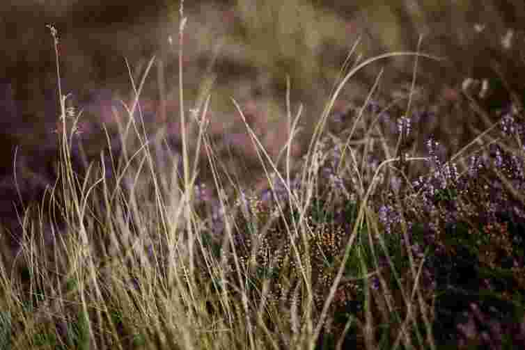 Close up of heather and wild grasses, heather flower, purple hills in Scotland, Pentland Hills near Edinburgh