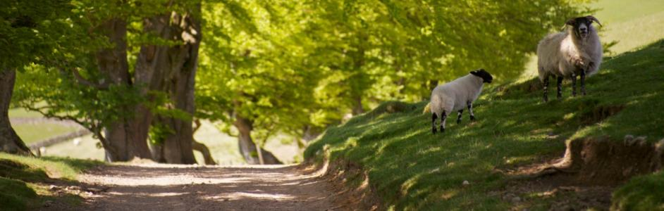 sheep and lamb in the shade of the trees, Scottish blackface, Summer, Scotland, Pentland Hills