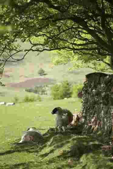 Scottish Blackface Sheep finding shade under a beech tree in the Pentland Hills near Edinburgh