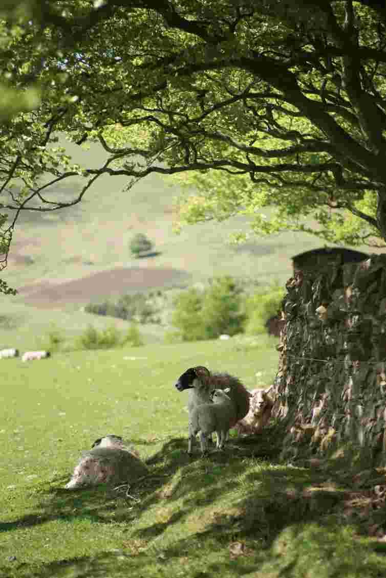 Scottish Blackface Sheep finding shade under a beech tree in the Pentland Hills near Edinburgh